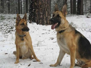 Threee Legged Shepherd Dogs Codie Rae and Travis Ray